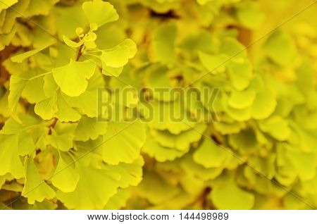 Green and yellow fall leaves of Gingko Biloba - healing plant, nature sunny autumn background