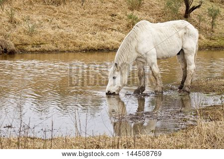 beautiful large white stallion drinking water from a pond or dam