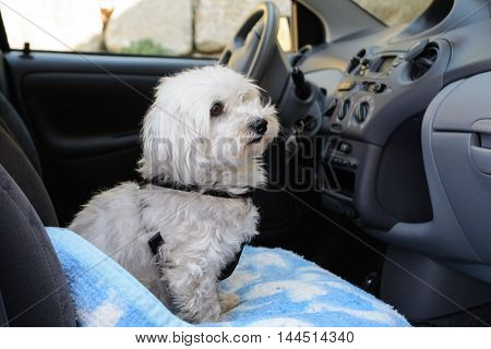 white dog leash as a passenger in the car