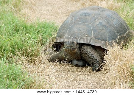 Giant Galapagos tortoise eating grass in its natural habitat at El Chato Tortoise Reserve, Santa Cruz, Galapagos Islands, Ecuador