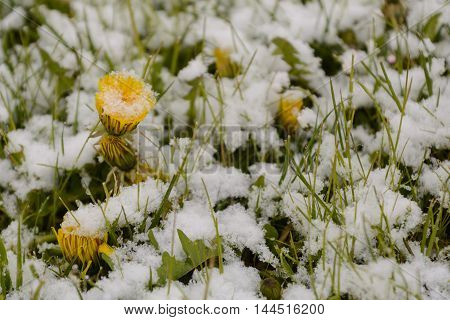 blooming dandelions with snow in spring - Close-up