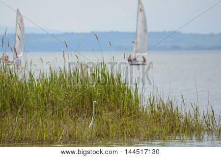 Heron in the reeds of Lake Neusiedl in Burgenland behind idyllic sailboats - Austria