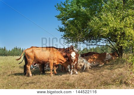 Cows are hiding in the shade of bushes. Sunny day on the farm. Midday heat pastures. Breeding cows on a rural farm in the Czech Republic.