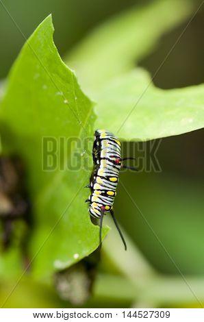 Plain Tiger (Danaus chrysippus) caterpillar is feeding on giant milkweed's leaf