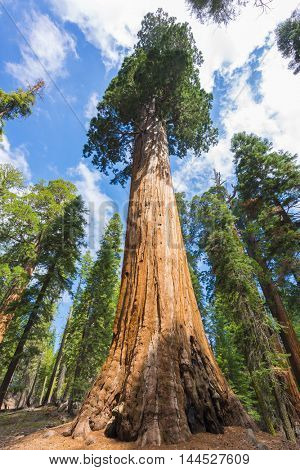 Giant Sequoia trees (sequoiadendron giganteum) in Sequoia National Park, California, USA