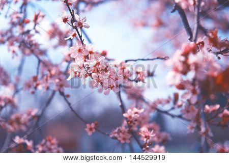 Cherry blossoms, Sakura, pink on blue sky