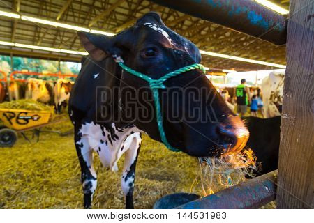 Elizabethtown PA - August 26 2016: A cow on display in the dairy barn at the annual Elizabethtown Fair chews on fresh hay.
