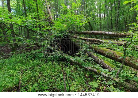 Dead hornbeam lying moss wrapped among deciduous trees in summer, Bialowieza Forest, Poland, Europe