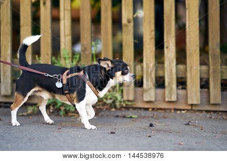 A little dog Chihuahua walking outside with a leash