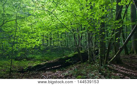 Sun iluminating rich deciduous forest in morning with hornbeam trees in foreground, Bialowieza Forest, Poland, Europe
