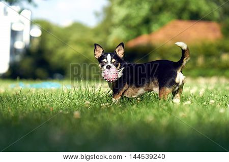 A small funny dog with a ball playing on the green grass