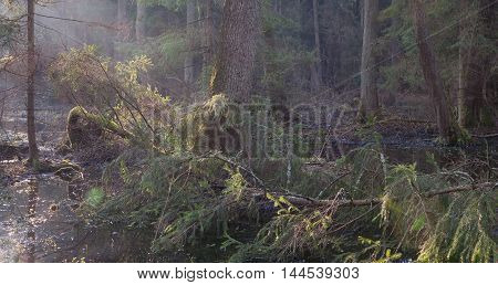 Bialowieza Forest riparian stand in morning with alder and spruce tree illuminated, Bialowieza Forest, Poland, Europe