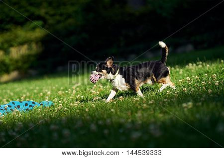 A small funny dog with a ball playing in the park