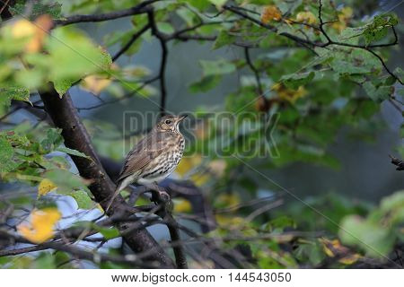 Song Thrush (Turdus philomelos) in autumn forest early in the morning. Moscow region Russia