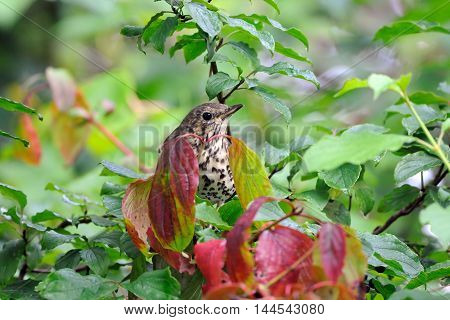 Song Thrush (Turdus philomelos) among multicolor leaves. Moscow region Russia
