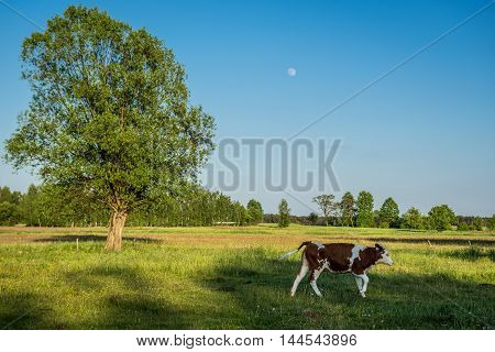 Cow on a pastureland on Mazowsze region in Poland