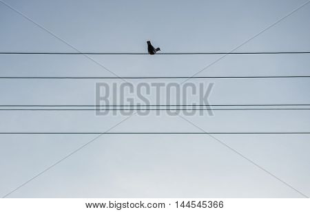 Pigeon sit on electricty wire on Mazowsze region in Poland