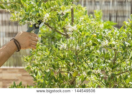 hands with pruning shears, a person pruning the tree with pruning shears