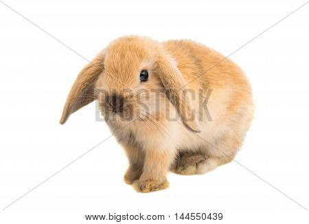 pet small rabbit on a white background