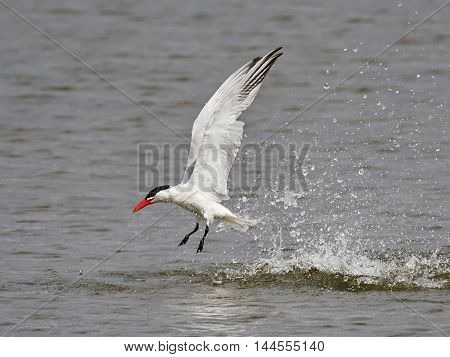 Caspian tern (Hydroprogne caspia) in flight after a dive with water drops around it