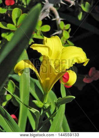 Yellow Lilly With Thorn Bush In The Back Ground 01
