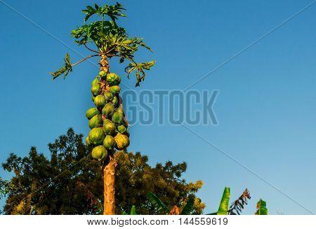 mamoeiro - árvore frutífera da região tropical