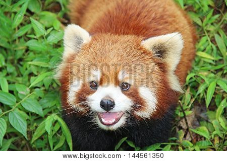 The Red Panda Firefox in Chengdu China