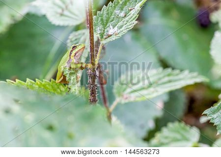 an European tree frog sitting on a branch of an blackberry