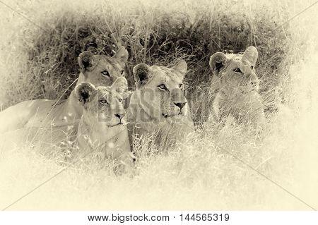 Close Lion In National Park Of Kenya. Vintage Effect