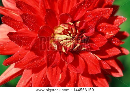 Macro of a white red dahlia - cultivar Vulkan