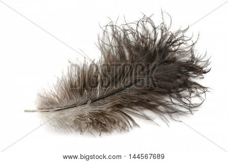 Ostrich feather isolated on white