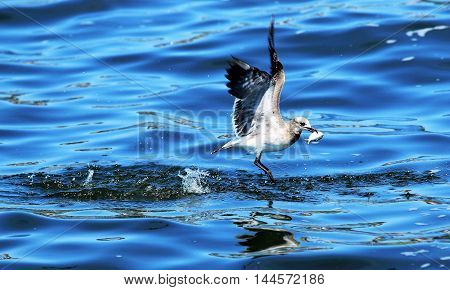 A seagull catching a fish in the bay and starts to fly away