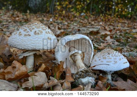 Group of delicious edible Macrolepiota excoriata or Frayed parasol mushrooms in natural habitat small meadow on perimetar of autumn oak forest
