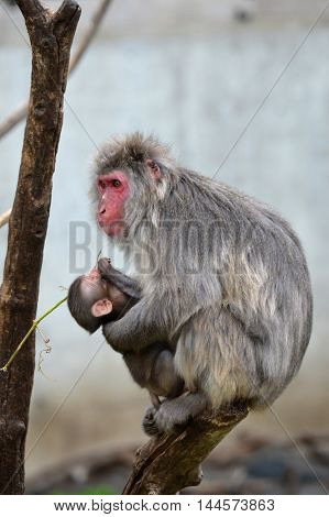 A Snow Monkey mother and baby on a branch