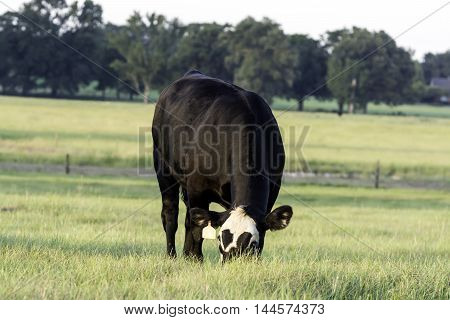 A white-faced Angus crossbred heifer in the center of the frame grazing in a Southern pasture in the summer