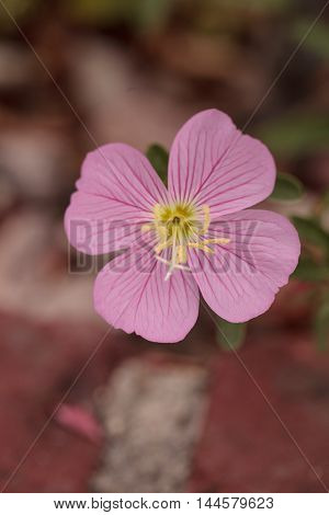 Farewell to spring pink wild flower scientifically known as Clarkia amoena flowers in Southern California, United States