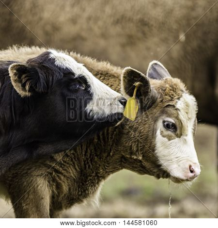 Close up of a black and white calf nuzzling a brown and white calf