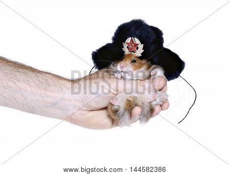Brown hamster in Russian national traditional fur hat with ear flaps in hand isolated