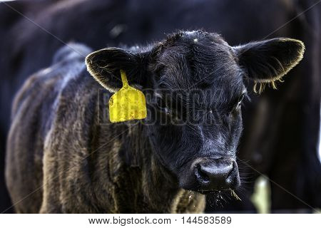 Black Angus calf with a yellow ear tag close up