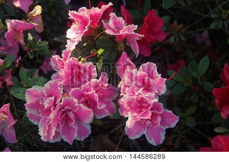 Pink beautiful flower from the south of Brazil poster