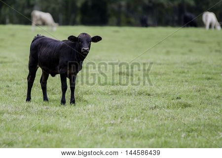Black crossbred calf to the left in a pasture with cows in the background and blank area to the right