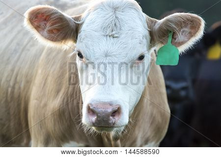 Blond heifer with white face looking at the camera filling up the frame