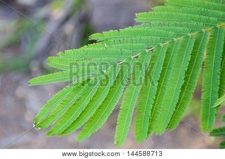 fresh green Senegalia pennata plants in nature garden