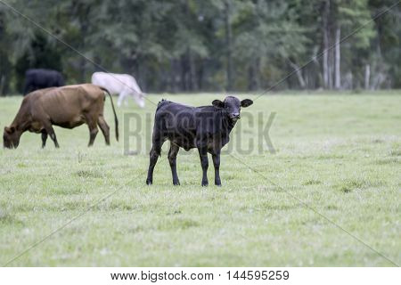 Commercial cattle on pasture with a calf in the center of the frame and blank area to the right