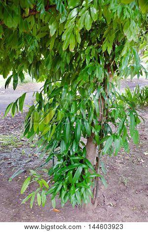 Cinnamon Leaves On The Tree
