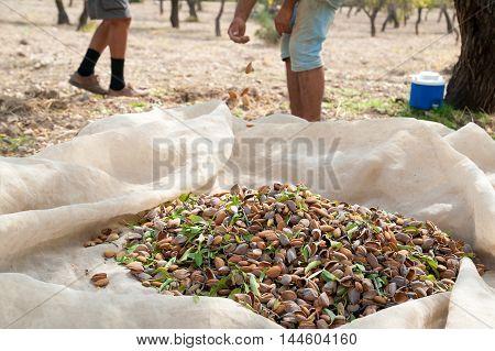 Almond Harvest Time