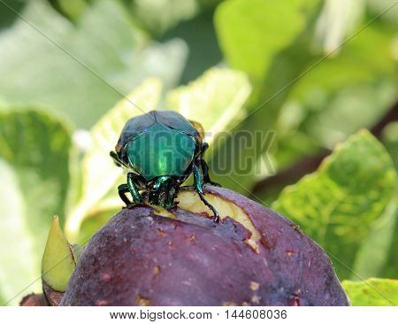 Green June Beetle, Cotinis nitida, eating ripe fig.