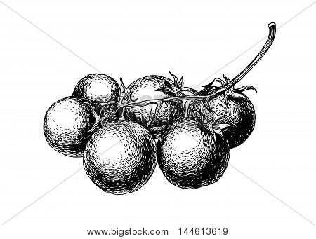 Hand drawn tomatoes isolated on white background. Scetch