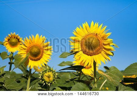 Sunflowers at blue sky background. Agricultural business, sunflower oil production. Summer farming. Cultivated sunny field with bright yellow flowers.