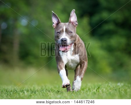 Amstaff Dog Outdoors In Nature